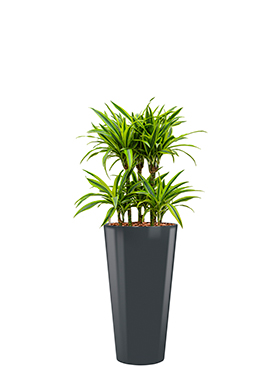 Dracaena lemon lime incl pot Style antraciet