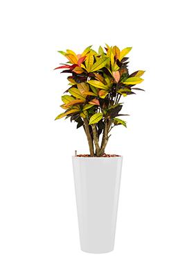 Croton (codiaeum) iceton incl pot Style wit