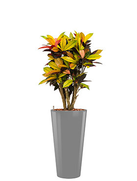 Croton (codiaeum) iceton incl pot Style zilver