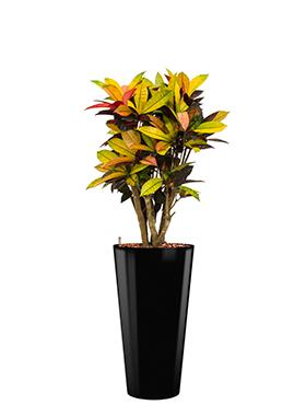 Croton (codiaeum) iceton incl pot Style zwart