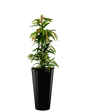 Ficus amstel king incl pot Style zwart