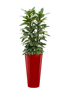Ficus cyathistipula incl pot Style rood