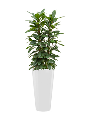 Ficus cyathistipula incl pot Style wit