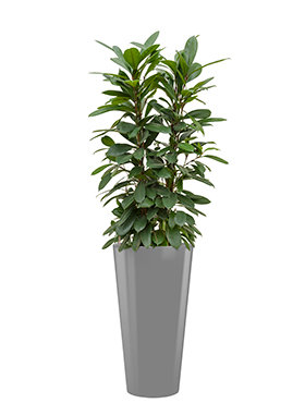 Ficus cyathistipula incl pot Style zilver