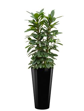 Ficus cyathistipula incl pot Style zwart