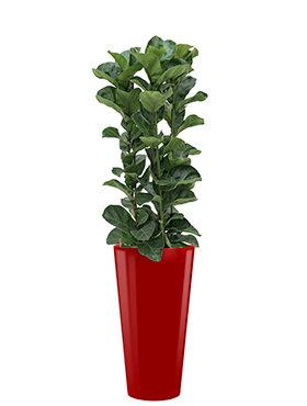 Ficus lyrata bambino incl pot Style rood