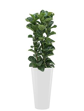 Ficus lyrata bambino incl pot Style wit