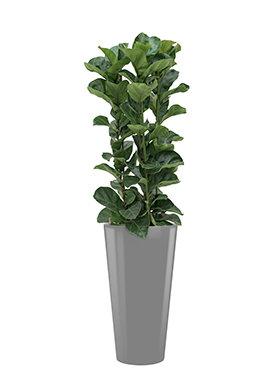 Ficus lyrata bambino incl pot Style zilver
