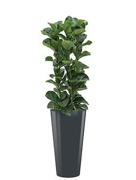 Ficus lyrata bambino incl pot Style antraciet