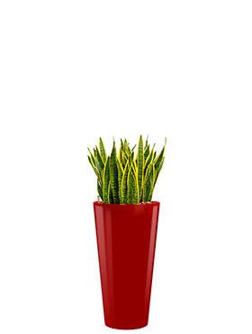 Sansevieria laurentii incl pot Style rood