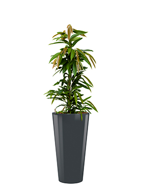 Ficus amstel king incl pot Style antraciet