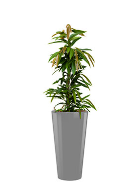 Ficus amstel king incl pot Style zilver