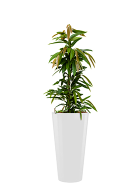 Ficus amstel king incl pot Style wit