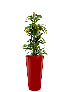 Ficus amstel king incl pot Style rood