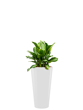 Aglaonema silver bay incl pot Style wit