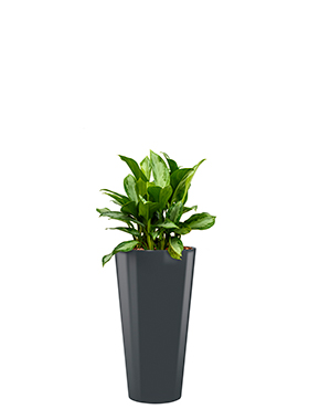 Aglaonema silver bay incl pot Style antraciet