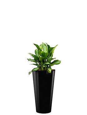 Aglaonema silver bay incl pot Style zwart