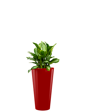 Aglaonema silver bay incl pot Style rood