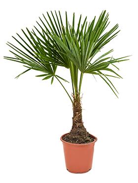 Trachycarpus Fortunei 90 cm
