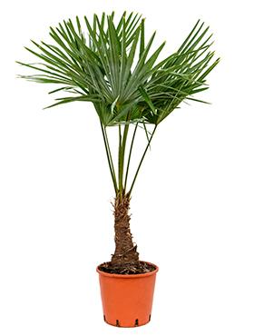 Trachycarpus Fortunei 130 cm
