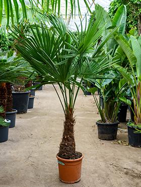 Winterharde palm Trachycarpus Fortunei 180 cm