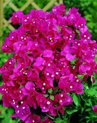 Bougainvillea paars (violet)