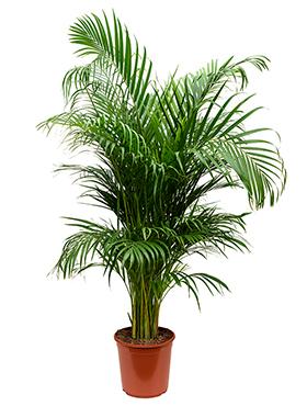 Areca Palm 140 cm (Goudpalm)