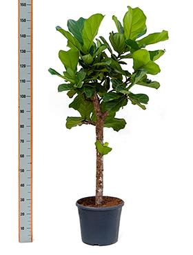 Ficus Lyrata (Tabaksplant) vertakt op stam 150 cm
