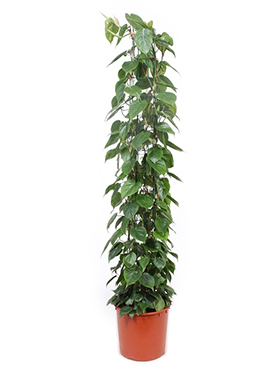 Philodendron Scandens 180 cm