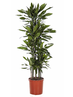 Dracaena Janet Lind 185 cm (Drakenbloedboom)