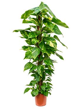 Scindapsus Aureus 150 cm (Epipremnum)