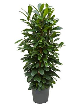 Ficus Cyathistipula 150 cm (Afrikaanse Vijgenboom)