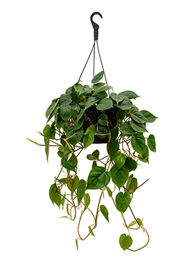 Philodendron Scandens hang 50 cm