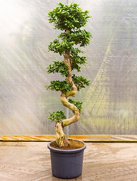 Ficus Microcarpa Compacta 200 cm (Bonsai boom)