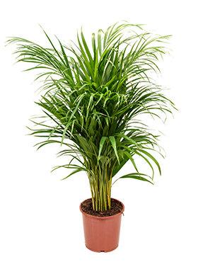 Areca Palm 100 cm (Goudpalm)