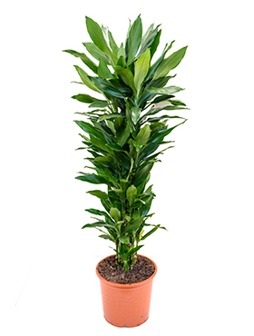 Dracaena Janet Lind 155 cm (Drakenbloedboom)