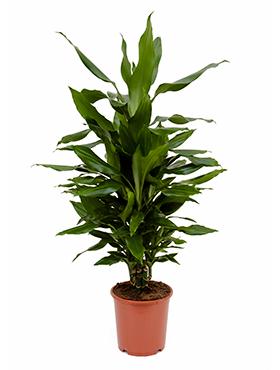 Dracaena Janet Lind 95 cm (Drakenbloedboom)