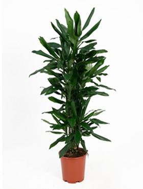 Dracaena Janet Lind 110 cm (Drakenbloedboom)