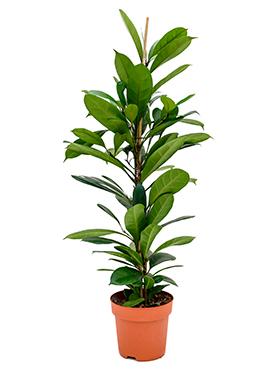 Ficus Cyathistipula 110 cm (Afrikaanse Vijgenboom)