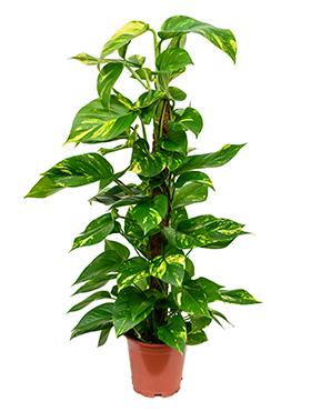 Scindapsus Aureus 80 cm (Epipremnum)