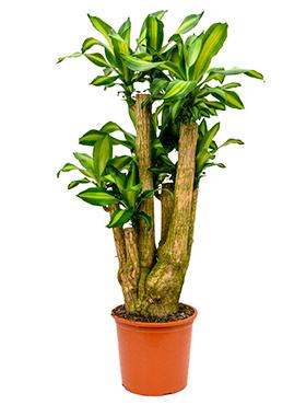 Dracaena Massangeana 140 cm (Drakenbloedboom)