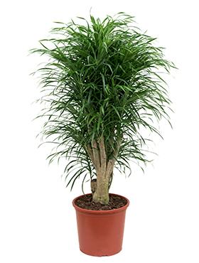 Dracaena Pleomele Anita 145 cm (Drakenbloedboom)