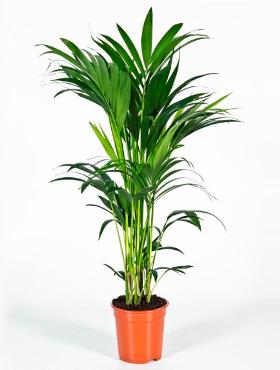 Kentia Palm 100 cm (Howea Forsteriana)