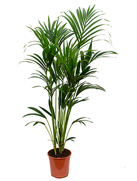 Kentia Palm 160 cm (Howea Forsteriana)