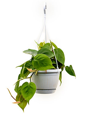 Philodendron Scandens hang 40 cm