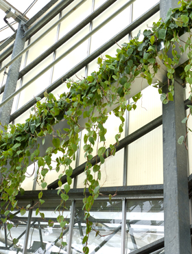 Philodendron Scandens hang 75 cm