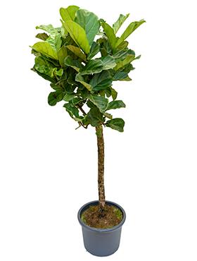 Ficus Lyrata (Tabaksplant) vertakt op stam 180 cm