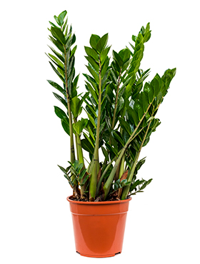 Zamioculcas Zamiifolia 95 cm. (Emerald Palm)