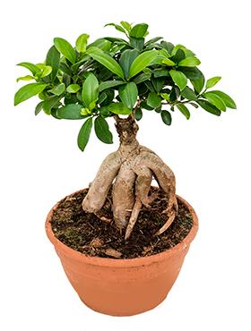 Ficus Microcarpa Ginseng 45 cm (Bonsai boom)