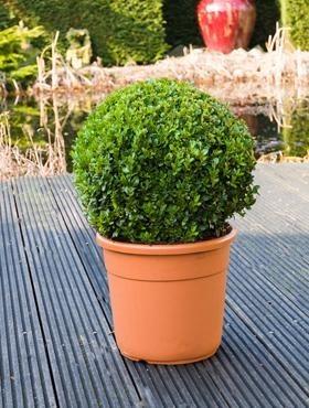 Buxus Sempervirens (Bol dia. 40cm)